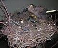 T.Ivanausko zoologijos muziejus2, 2006-12-02.jpg