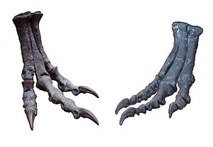 Arctometatarsal - Tyrannosaurus foot showing the compressed arctometatarsalian condition of the middle metatarsal, compared to that of Allosaurus