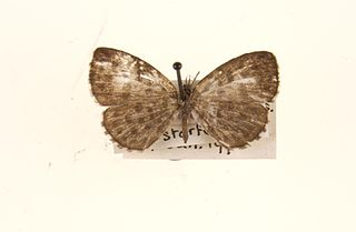 <i>Taraka hamada</i> species of insect