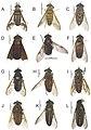 Tabanidae (10.3897-zookeys.684.13197) Figure 12.jpg