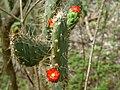 Tacinga palmadora na Caatinga Paraibana.jpg