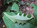 Tagiades litigiosa - Water Snow Flat - Signature cutting on Dioscorea leaf 3.JPG
