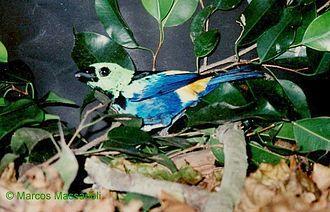 Tangara (genus) - Seven-colored tanager, Tangara fastuosa