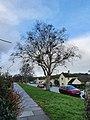 Taphrina betulina on silver birch in Penzance, Cornwall.jpg