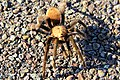 Tarantula, Big Bend National Park (8180036588).jpg