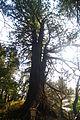 Taro-Sugi (the tallest cedar in Kairakuen).JPG