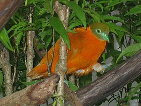 Taveuni orange dove.jpg