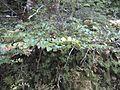 Tawhai-Silver Beech (6709615081).jpg