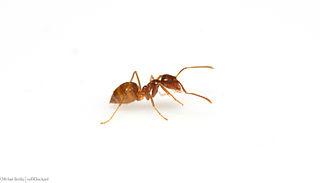 Rasberry crazy ant Species of ant