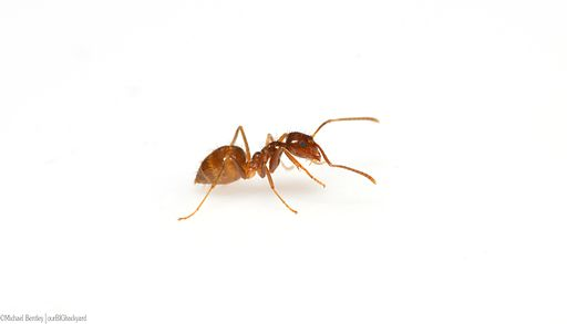 Tawny crazy ant (Nylanderia fulva) female worker on white background