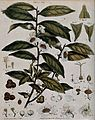 Tea plant (Camellia sinensis); flowering stem with sectioned Wellcome V0044086.jpg