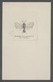 Teleas - Print - Iconographia Zoologica - Special Collections University of Amsterdam - UBAINV0274 047 02 0006.tif