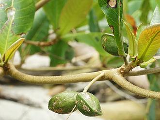 Terminalia catappa - Image: Terminalia catappa (fruit)