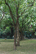 Terminalia chebula - South China Botanical Garden 2013.11.02 11-03-29.jpg