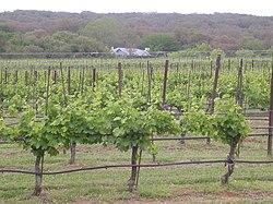 Texas Hills vineyard.jpg