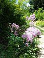 Thalictrum aquilegiifolium sl2.jpg