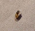 Thaumatomyia species. family Chloropidae (1) - Flickr - gailhampshire.jpg