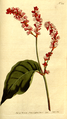 The Botanical Magazine, Plate 213 (Volume 6, 1793).png