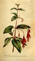 The Botanical Magazine, Plate 97 (Volume 3, 1790).png
