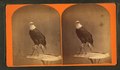 """The Centennial photograph of """"Old Abe,"""" the live Wisconsin war eagle. Agricultural Hall, (International exposition), Philadelphia, 1876, from Robert N. Dennis collection of stereoscopic views.png"""