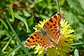 The Comma (Polygonia c-album) (17209768501).jpg