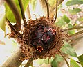 The nest of red-vented bulbul.jpg