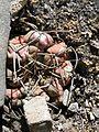 Thelocactus hexaedrophorus (5762000596).jpg