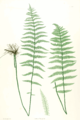 Thelypteris palustris Moore29.png