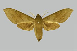 Theretra jugurtha jugurtha, female, upperside. Nigeria, Ibadan.jpg