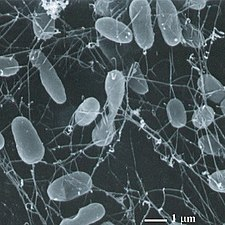 Thermophile bacteria2
