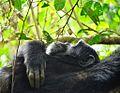 Thinking,Chimpanzee, Uganda (15059473018).jpg