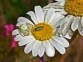 Thomisidae - Misumena vatia-2 (8303317985).jpg