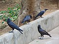 Three Indian Jungle Crows and a House Crow, Tamilnadu.jpg