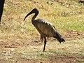 Threskiornis aethiopicus (43807579965).jpg