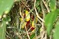 Thunbergia mysorensis 12zz.jpg