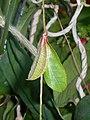 Thunbergia mysorensis 2017-05-31 2480.jpg