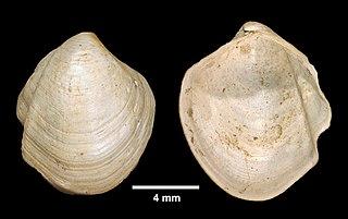 <i>Thyasira trisinuata</i> species of mollusc