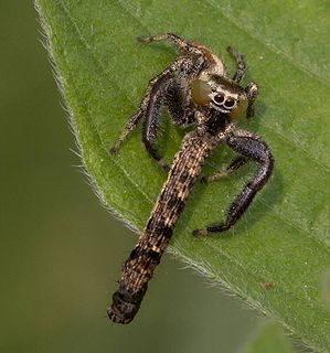 <i>Thyene</i> Genus of spiders
