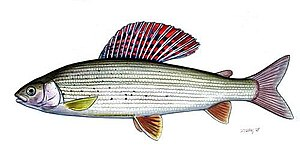 Grayling (species) - Adult grayling