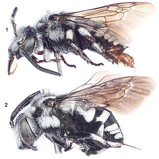 <i>Thyreus shebicus</i> species of insect
