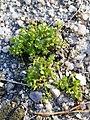 Tillaea aquatica + Centunculus minimus sl3.jpg