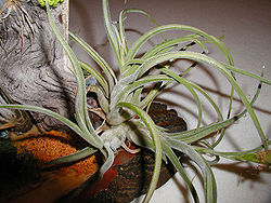 Tillandsia.single.800pix.jpg