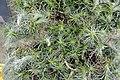 Tillandsia funckiana - Boltz Conservatory.jpg