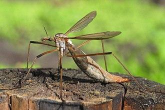Tipula paludosa - Tipula paludosa female