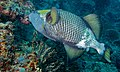 Titan Triggerfish (Balistoides viridescens) (8502745241).jpg