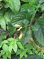 Titanotrichum oldhamii (15369909938).jpg