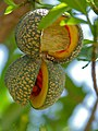 Toad-tree (Tabernaemontana elegans) fruit (11821934795).jpg