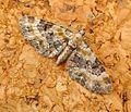 Toadflax Pug (Eupithecia linariata) - Flickr - gailhampshire (1).jpg