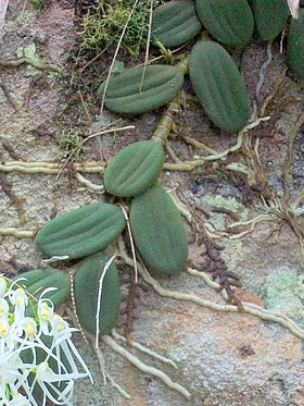Tongue Orchid West Head Track.jpg