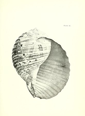 Henry Suter - Tonna variegata from Suter's Manual of the New Zealand Mollusca